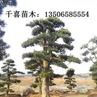 供应上海罗汉松 日本造型罗汉松