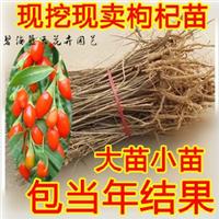 宁夏中宁枸杞苗代办批发产地供应