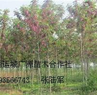 3、4公分优质香花槐大量出售