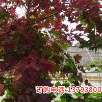 山东秋火焰红枫小苗,现代红枫