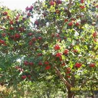 供应3公分山楂树柿子树杏树