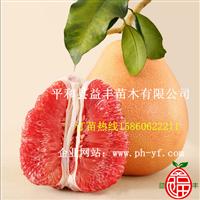 三红柚子枝条价格
