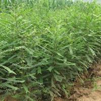 皂角苗 2-3公分皂角树