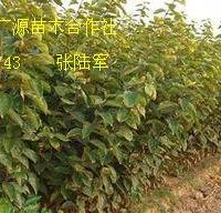 柿子苗大量低价优惠供应