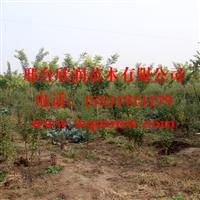 欣润苗木大量供应榆叶梅1.5米