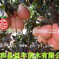 福建三红蜜柚苗价格