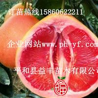 平和三红柚子苗价格