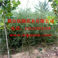 河北邢台欣润苗木供应垂柳2公分