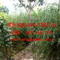 河北邢台欣润苗木供应垂柳3公分
