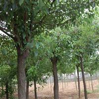 肥西苗圃出售2-15公分香樟树