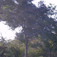 供应鸡爪槭 胸径4-10CM厂