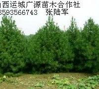 2.5-3米以上白皮松大量低价供应