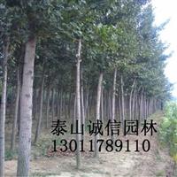 供应银杏/12公分银杏/银杏价格