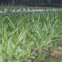 糖棕苗要培育多少年才能种出来?