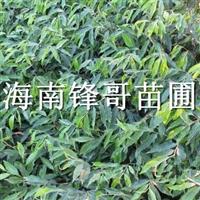真的有奇楠沉香苗吗?