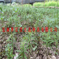 红豆杉芽苗,红豆杉芽苗价格您知道了吗