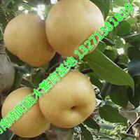 河南梨树苗批发价格 南阳梨树批发价较低