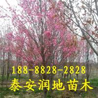 龙柱碧桃,红叶碧桃,5公分碧桃价格