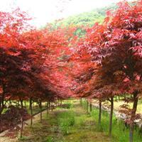 安徽肥西当地红枫,规格齐全,精品销售