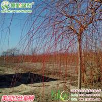 美国红丝垂柳 垂柳更新换代优良品种