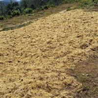 供应龙胆草种子 选货 统货 统草