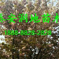 5公分樱花价格