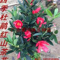供应四季杜鹃红山茶月月开花可做绿植盆栽