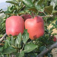 苹果苗 矮化苹果苗 富士苹果苗基地