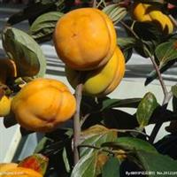 柿子苗优质甜柿子苗价格么盘柿子苗价格