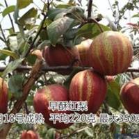 梨树苗价格优质梨树苗基地