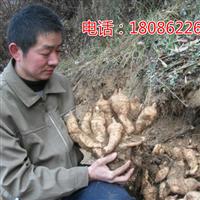 云南怒江哪里有卖0代天麻种子多少钱1斤