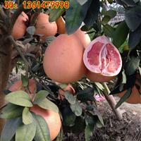 广西蜜柚种植|三红蜜柚苗要哪里买才正宗