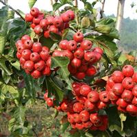 急供山楂树,桃树,苹果树