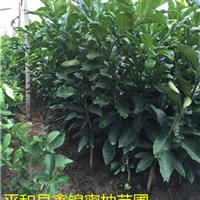 四川适合种植三红蜜柚吗|三红蜜柚苗在哪买