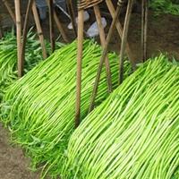 水雍菜种子 水雍菜苗 水上竹叶菜种子