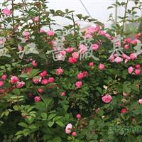 供应各规格蔷薇(万)