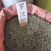 优质罗汉松种子大量出售