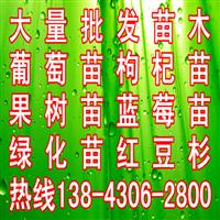 出售东北红豆杉 批发东北红豆杉苗