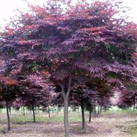 红枫报价:日本红枫、美国红枫树