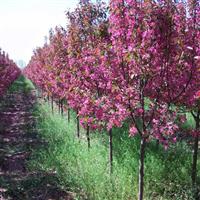 红宝石海棠,木瓜海棠,西府海棠,八棱海棠树