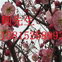 梅花树梅花盆景古桩造型树苏州苗圃别墅果树