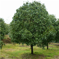 七叶树|七叶树基地|苗木基地-小胡雪松苗木