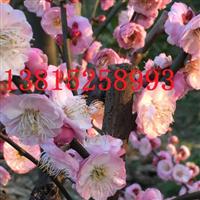 苏州梅花树光福梅花园,别墅庭院景不雅观绿化