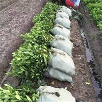 江西省南昌市哪里有多头色块容器苗海桐卖?