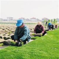 江西省南昌市哪里有矮生百慕大草坪实方出售
