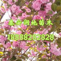 5公分樱花树价格