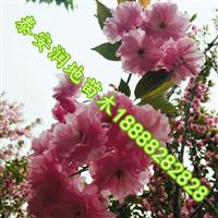8公分樱花价格