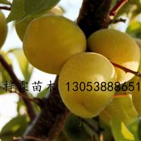 珍珠油杏果木品种