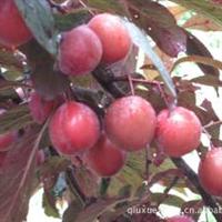 哪里有3公分桃树苗|价格|产地|苗木报价、