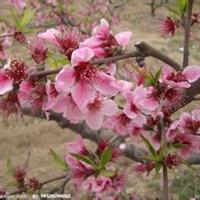 占地3公分桃树-6公分桃树-8公分桃树